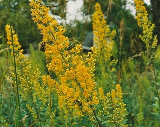 Showy Goldenrod-Sand Hill Savanna-2009