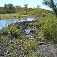 Beaver Dam at Cooper Park Wetlands