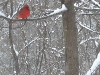 Cardinal in branches-Julie