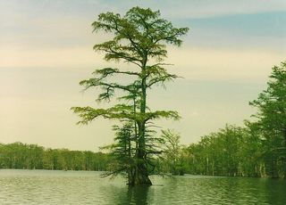 Horseshoe Lake-cypress tree
