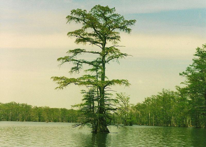 Horseshoe Lake-cypress tree