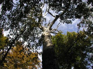 T. Stubblefield Grove NP dead oak #3 15-Oct-2015