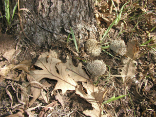 Acorn at home bur oak 29-Sept-2013 Photo2