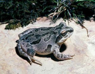 Illinois_chorus_frog-Missouri Department of Conservation
