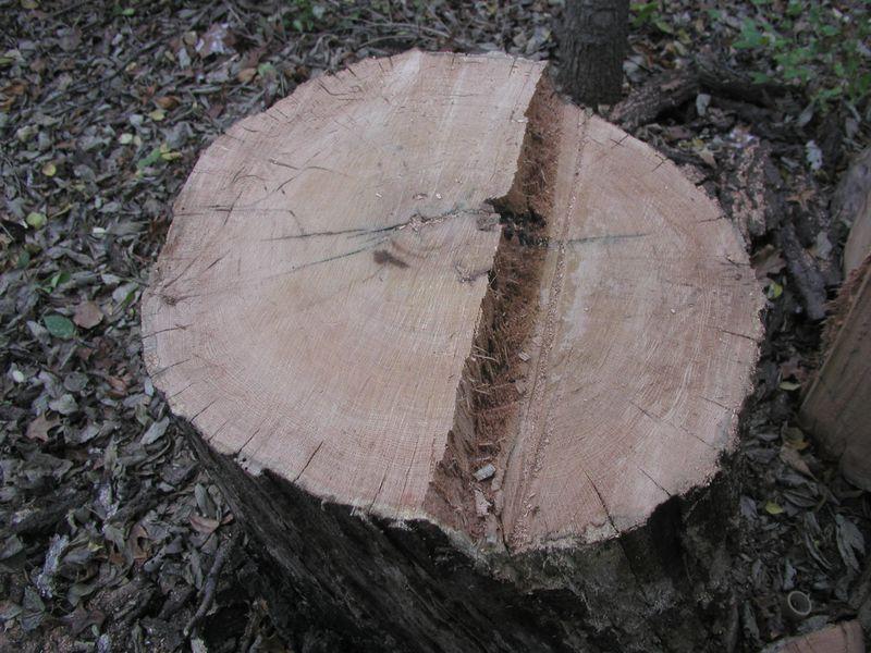 Black oak stump with dollar