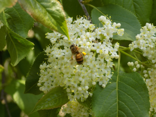 Viburnum with honeybee 13-May-2019