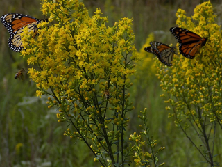 Honey bees and monarches on showy goldenrod 17-Sept-2018