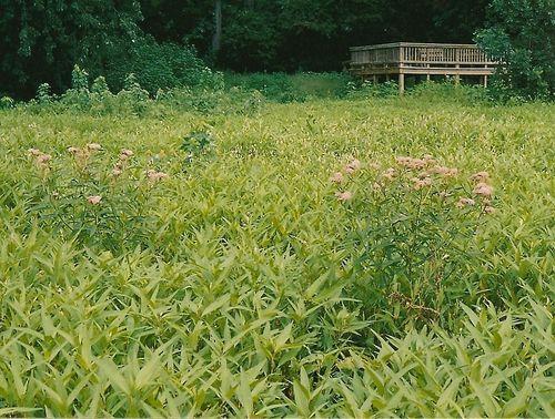Swamp milkweed at Emiquon Refuge